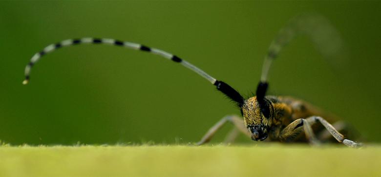 gehoornd - De alom geliefde distelboktor. Familie Cerambycidae, voor degene die het wil weten.