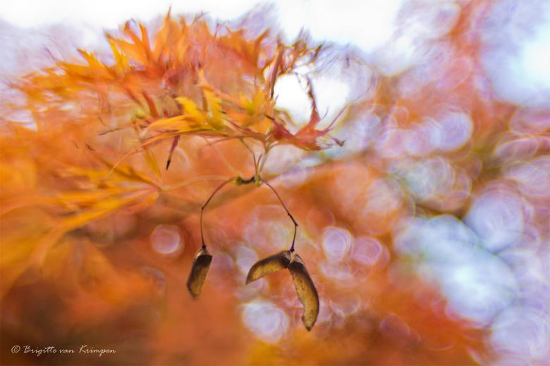 Autumn Bokeh - Acers, mijn favoriete boom in al zijn glorie in de Herfst, genieten<br /> Lensbaby Sweet 35, herkenbaar aan zijn karakteristieke bokeh