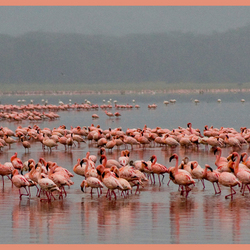 Flamingos in Lake Nakuru ( Kenia )