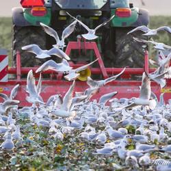 meeuwen achter de tractor op het land