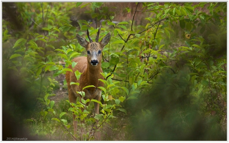 Ogenblik - We verrasten elkaar met onze aanwezigheid op de Westerheide...ik zat verscholen in een boom, het bokje verdween al snel in het bos...