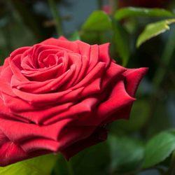 Passie vastgelegd: roos