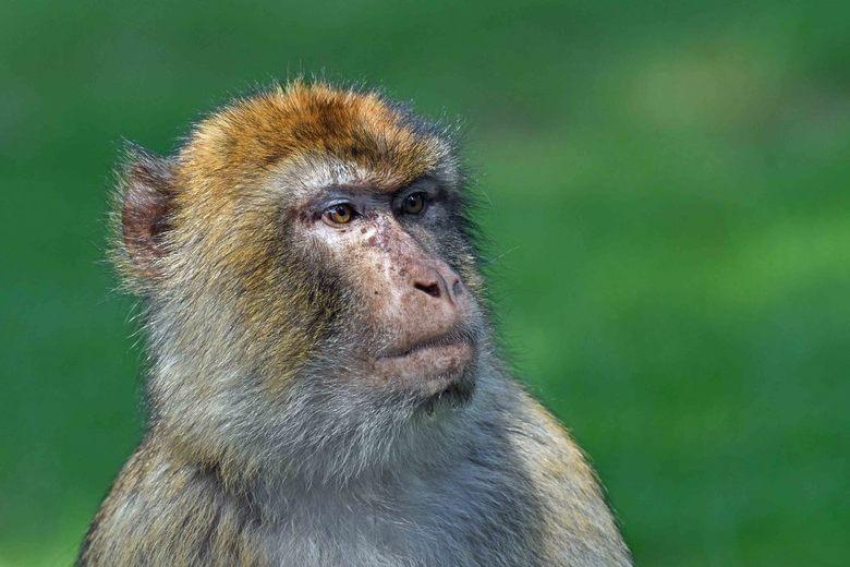 europees - In Europa leven twee soorten primaten in het wild. De berberaap en natuurlijk de mens. <br /> Op de Rots van Gibraltar leven verschillende