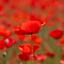 klaprozenveld Koppenberg België - 100 jaar oorlog