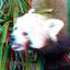Little Panda Blijdorp Zoo Rotterdam 3D