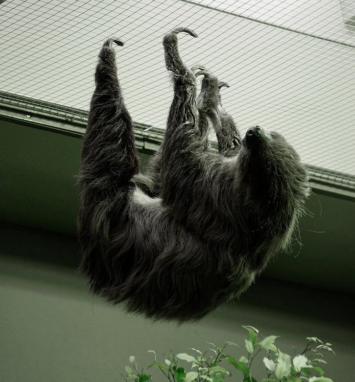Hoy hoy hoy - Geen geweldige opname maar het was leuk om ze in het apenhuis los te zien. gr. Nel