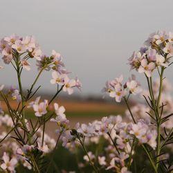 Pimksterbloemen