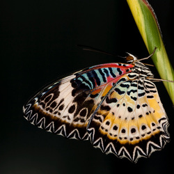 Artis vlinder 2