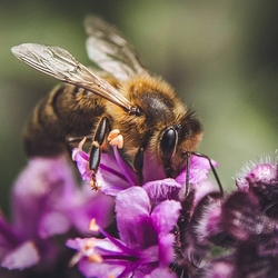 Een bij op paarse bloemetjes