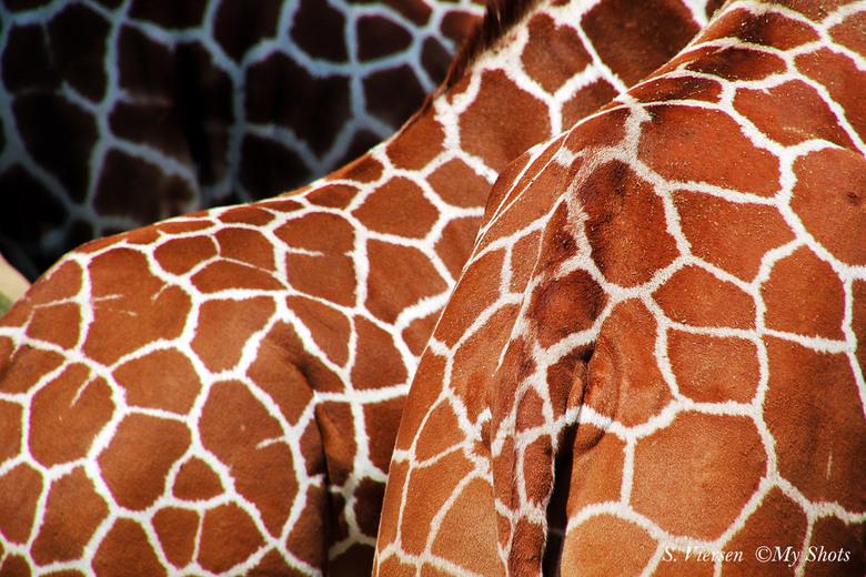 Patronen - Een gezellige bijeenkomst van giraffen, een mooie foto voor mij!