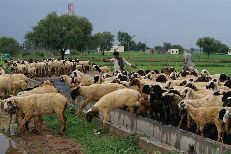 Jump! - Het was ons een raadsel waarom de schapenhoeder, wij waren op de weg van Delhi naar Jaipur, de schapen allemaal over de grote weg wilde dirige