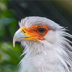 secretarisvogel 02