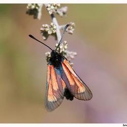 Zygaena-purpuralis