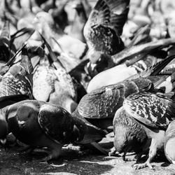 De duiven op 't Damrak