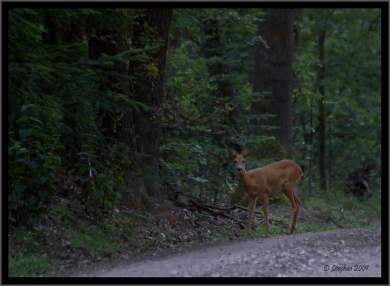 Reegeit langs de weg - Op zoek naar wild zag ik het reegeitje in de verte langs de kant van de weg lopen, voorzichtig stapje voor stapje  dichterbij g