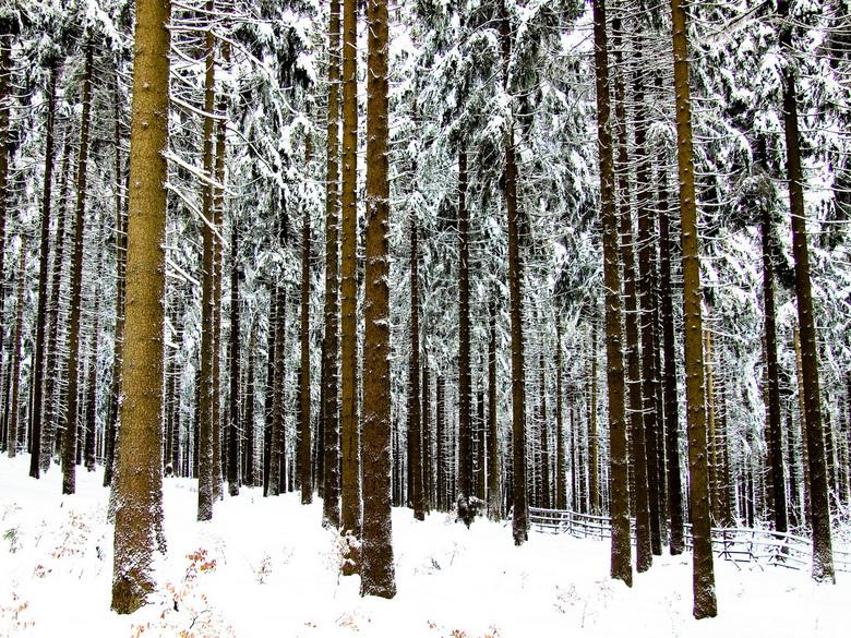 Standing Tall - Bomen in de Harz