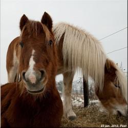 Ponyhoofd