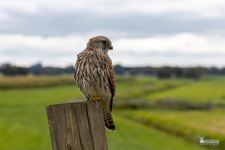 Zoetermeer - Deze torenvalk (Falco tinnunculus) zat lekker te relaxen op een hekje toen ik er langs fietste. Ben gestopt en snel wat foto's met m