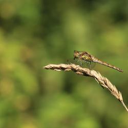 Heidelibel met prooi