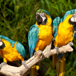Blue Yellow Macaw's