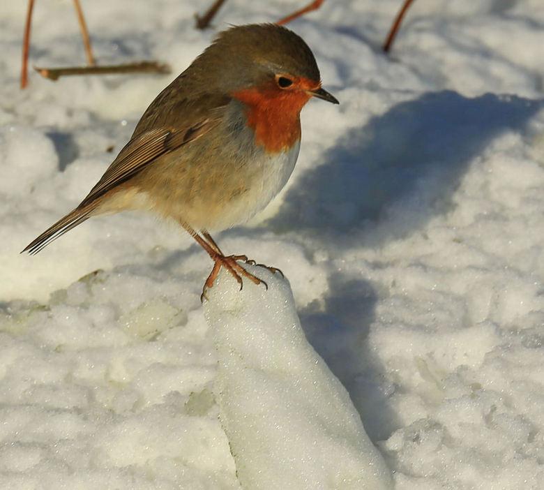 """Hoogtevrees - Dit prachtige roodborstje was op een bergje sneeuw gesprongen maar durfde er niet meer vanaf <img  src=""""/images/smileys/wilt.png""""/>!"""