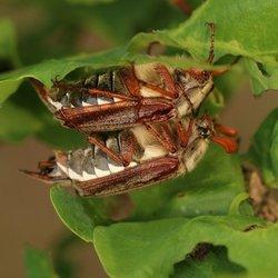 Paring meikevers