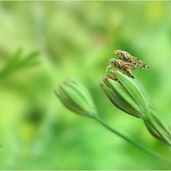 Acanthiophilus helianthi.............