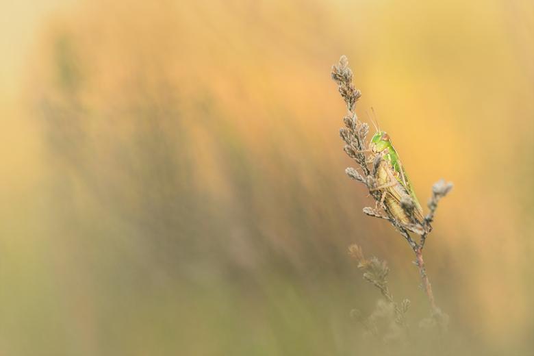 Japie Krekel - Het was vanmorgen flink zoeken naar vlinders op de hei, gelukkig hielp deze vrolijke springer een handje en ging voor mij alvast op de
