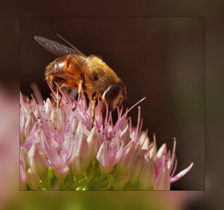 Goudhaartje! - Wat een zonnig weer de afgelopen dagen, meteen worden de bijtjes weer actief! Op de Sedum in mijn tuin.