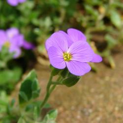Paarse bloem 1 bij 1 cm uitvergroot