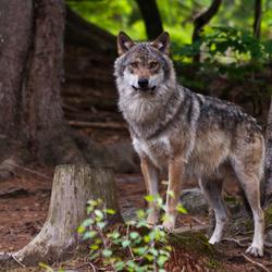 Bayerischer Wald: Wolf