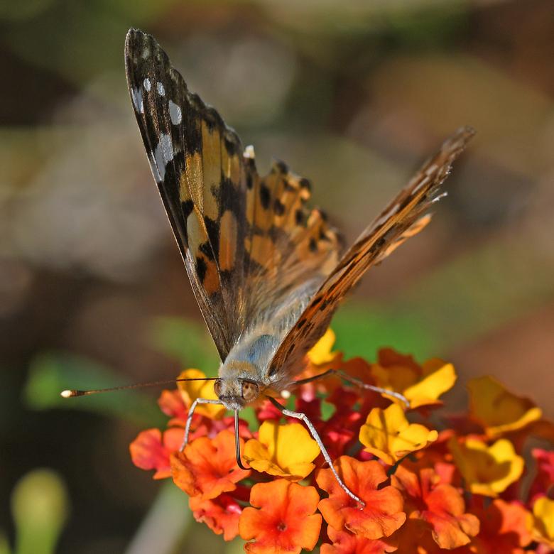 oranjebruin - De -ietwat sleetse- distelvlinder snoepend van lantana-bloem is veel kleurrijker dan de microvlinder die ik gisteren publiceerde. Ik heb