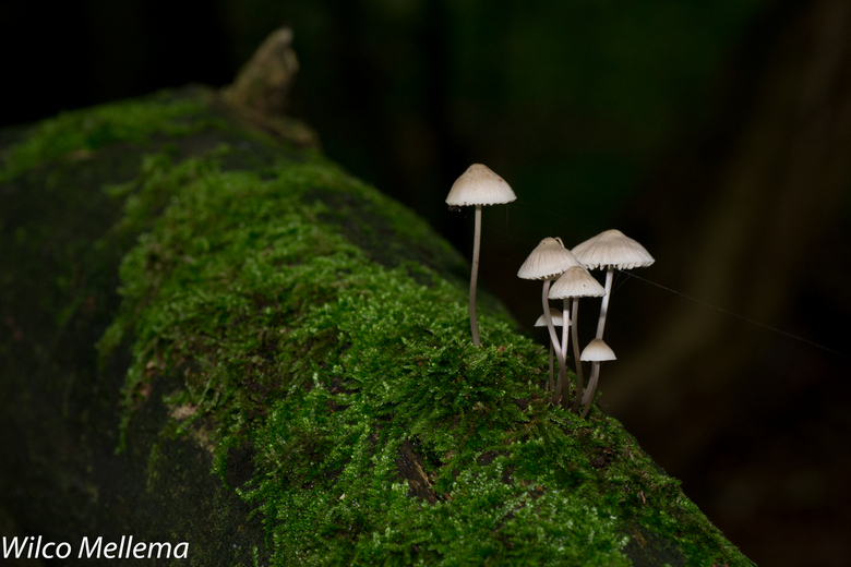 Witte paddestoelen - Witte paddestoelen groeien uit een omgevallen boom in het Heemsteedse bos.