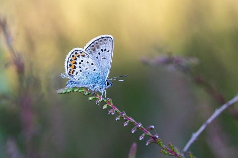 Silver-studded blue - Dit heideblauwtje doet zijn Engelse benaming wel eer aan!<br /> <br /> F6.3, 1/160 iso 160