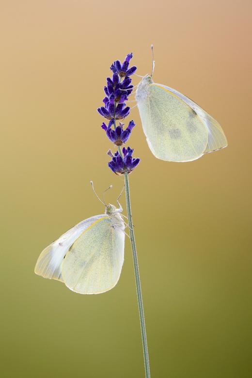 Groot koolwitje   - Uit de eigen (vlinder)tuin