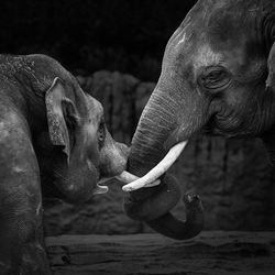 Twee Olifanten in Zwart Wit