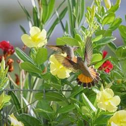 Kolibrie 's