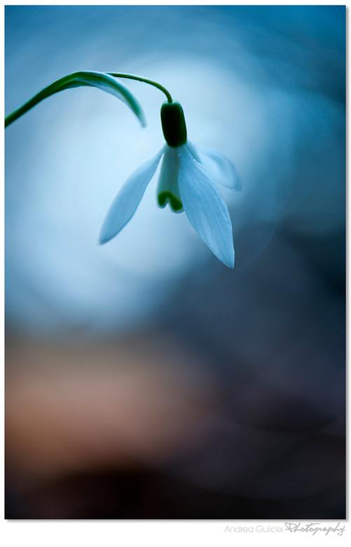 Snowdrop in Silence - Nog eentje uit Amelisweerd. Sneeuwklokjes al bijna weer op een einde. Aanpassing van de witbalans in de camera en onderbelichtin