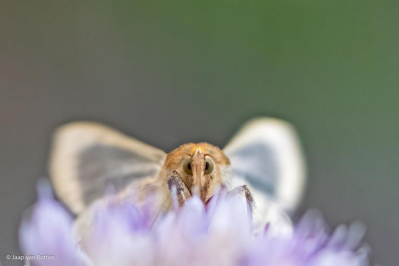 kiekeboe  - De koperuilvlinder fladdert hier al nectar zuigend de bloem op