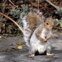 Kaapse eekhoorn