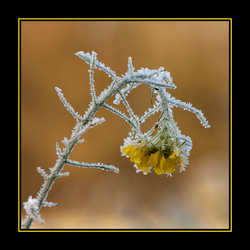 Bevroren bloem