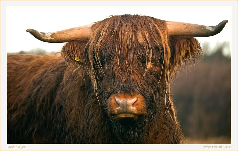 Looking @ You - Op een mistige dag genomen op ongeveer 4 meter afstand.<br /> De kracht die deze stier uitstraalde gaf een heel apart gevoel.<br />