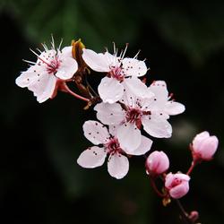 Prunus II