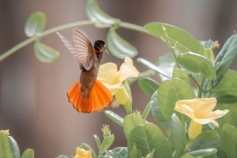 kolibrie - Een prachtige Kolibrie in de tuin