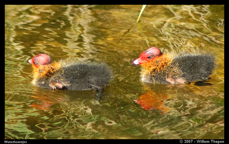 Waterhoentjes -
