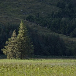 Skye_tree