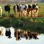Spiegeltje spiegeltje aan de wand wie is het mooiste van het weiland?