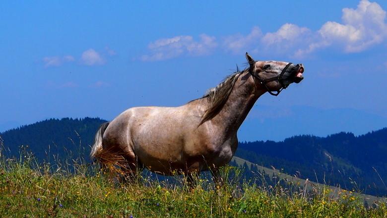 Lipizaner Paard - Deze hitsige hengst kwam ik tegen op een bergweide in Steiermark Oostenrijk.<br /> Hij domineerde de hele kudde.