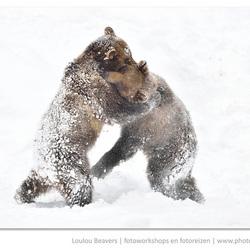Ik zag twee beren....