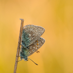 Icarusblauwtjes.